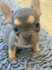 French bulldog pups, lilac and tan choc and tan