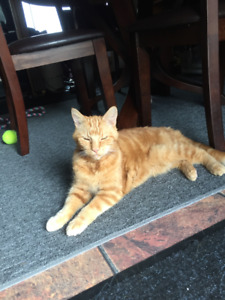 MISSING..DARK GINGER/ORANGE MALE TABBY TIP TAIL WHITE