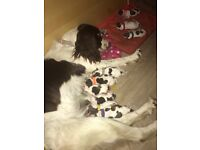 Springer spaniel puppies for sale
