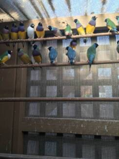 BLUE GOULDIAN FINCHES