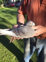 Many types of Pigeons for sale