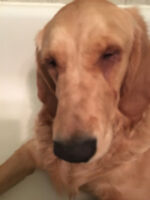 Allie Needs eye surgery shes a 7 month old Golden Retreiver