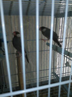 Java Finches, Gently used cages & accessories