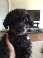 SENIOR MINIATURE POODLE