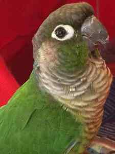 Sleek Green Cheeked Conure - comes with cage! Kitchener / Waterloo Kitchener Area image 7