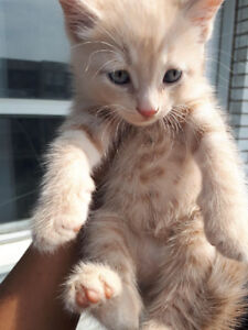5 Adorable 6 week old orange and gray tabby kittens