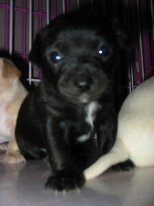 CHIHUAHUA PUPPIES First Shots Health Record Dewormed Peterborough Peterborough Area image 3