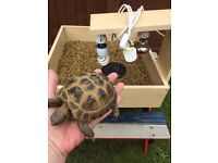 Large 2 year old female horsefield tortoise with full set up table