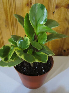 Baby Rubber Plant Variegata