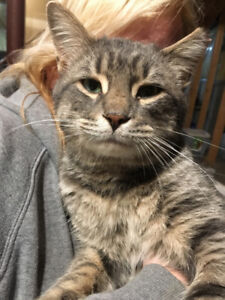 Dorian - rescued brown tabby male for adoption