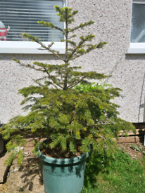 Potted Norwegian Spruce 120cm, Ready to Plant