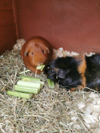 2 female guinea pigs, cage, stand, food and hay inc