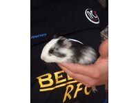 Three baby Guinea pigs for sale.
