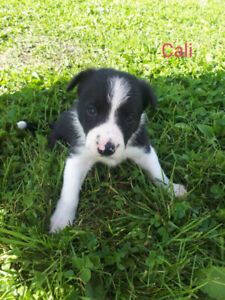 Short haired Border Collie Puppies for sale