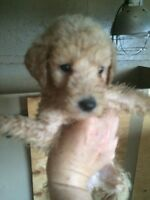 Allergy friendly goldendoodle pups. Ready