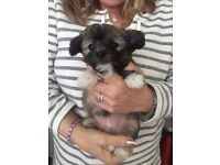 Toy Chinese Crested Dog Girl Puppy