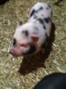 MINI MICRO SPOTTED PIG