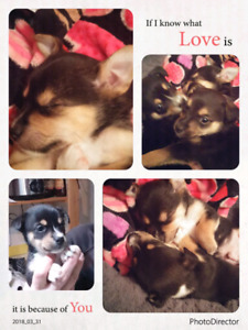 Adorable Kojack puppies for sale