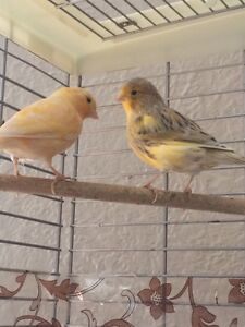 Serins-canaries /canary