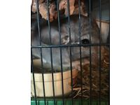 Single male chinchilla looking for loving home!