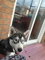 Husky dog for sale pure breed Siberian
