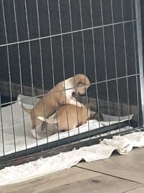 Chiuahaua puppies