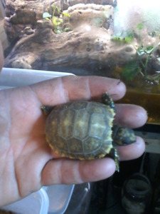 Tortues  tortoise  yellow foot & red foot