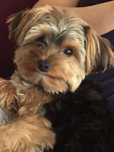 Our cute little Yorkie is looking for a new home