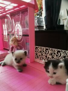 Beautiful Ragdoll Kittens available to a new home