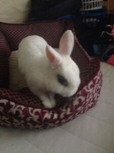 WHITE DWARF RABBIT, WITH CAGE
