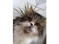 Male persian for Rehoming