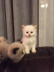 Himmydoll - beautiful blue eyed male, flame point