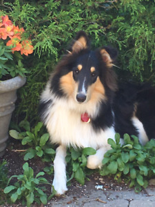 Rough Collie Puppies CKC Registered
