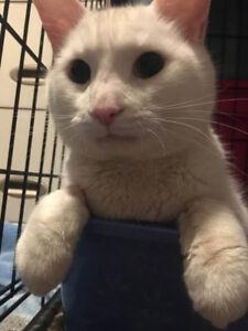 Beautiful White Male Cat Seeking New Home