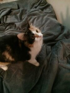 2 beautiful female calico cats for sale Cornwall Ontario image 2