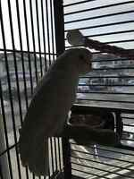 Goffin Cockatoo with cage