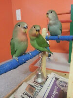 I AM 4 THE BIRDS AVIARY - LOVEBIRD BABIES