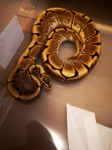 Final ball python clear out