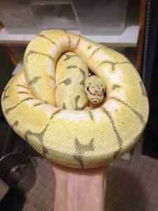 Ball Python Collection For Adoption! -Revised-