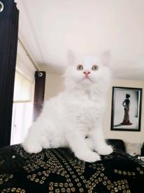 Persian Angora Kitten