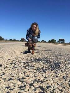 Mini Daschund Puppy For Sale Joondanna Stirling Area Preview