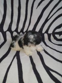Shih-tzu dog for sale