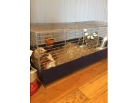 Guinea pigs and home for sale