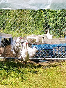 Chickens and rooster for sale along with pen