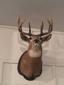 Large White-Tailed Deer Mount - Unique antlers!