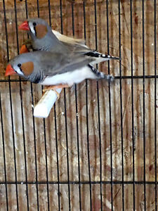 Zebra Finches & Cages!
