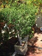 FREE - FICUS BENAJAMINA IN POTS Mosman Park Cottesloe Area Preview