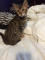 Male Bengal kitten
