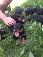 Border Collie cross Rottweiler puppies