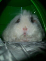 5 Guinea Pig's looking for New Homes!! UPDATEDD